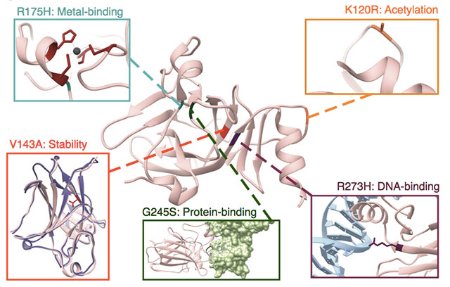 Radivojac's work shows that, for the same protein, there could be different processes disrupted at the molecular level. Here, human tumor suppressor p53 is used to illustrate the numerous possible effects of amino acid substitutions on protein structure and function. Protein Data Bank IDs for the structures shown are 1TUP, 1YCS, 2J1W, and2YBG. (Nature Communications, 2020)